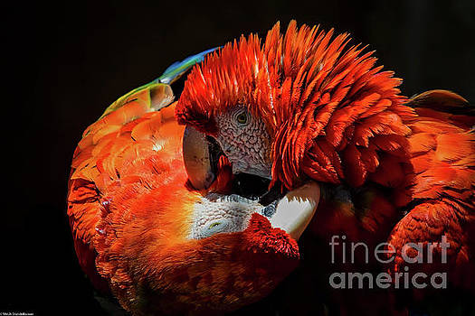 Parrots by Mitch Shindelbower