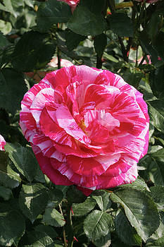 Party Rose by Judy Whitton