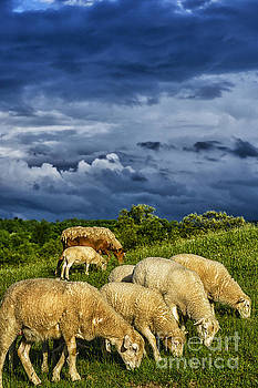 Passing Storm and Grazing Sheep by Thomas R Fletcher