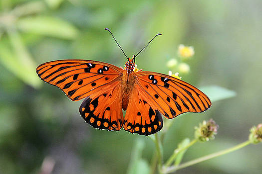 Passion Butterfly by Doris Potter