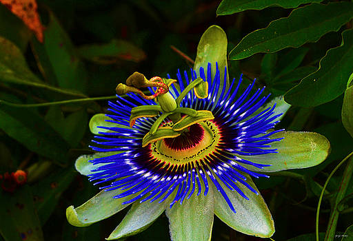 Passion Flower 016 by George Bostian