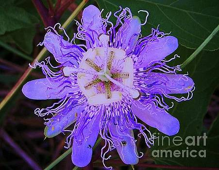 Passion Flower Bloom by Shirley Moravec