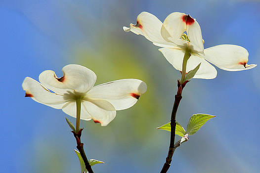 Passion Of The Dogwood by Carolyn Wright