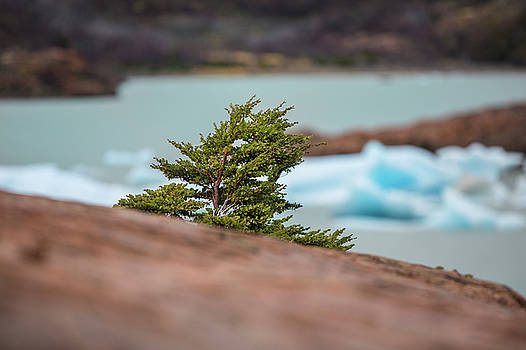 Patagonian Tree by David Hare