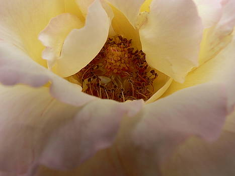 Peace Rose  by Patty  Leclerc
