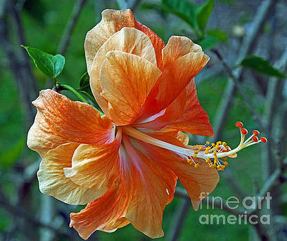 Peachy Hibiscus by Larry Nieland