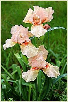 Peach Irises by Mindy Newman
