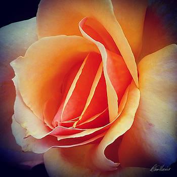 Diana Haronis - Peach Rose