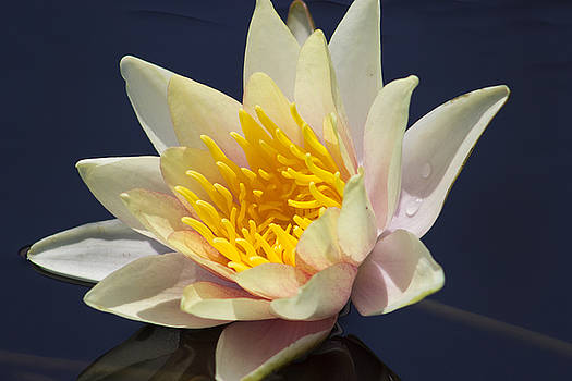 Peach Water Lily by Mark Michel
