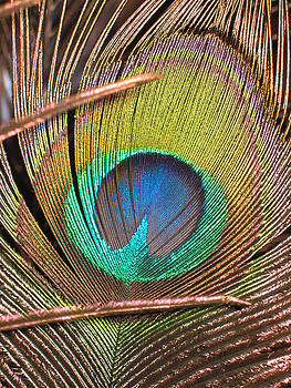 Peacock Feather by Denise Keegan Frawley