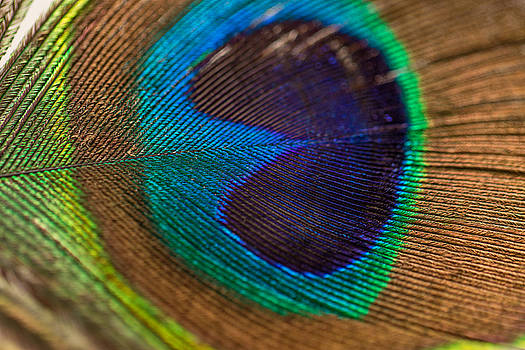 Peacock Feather Macro Detail by Amber Flowers
