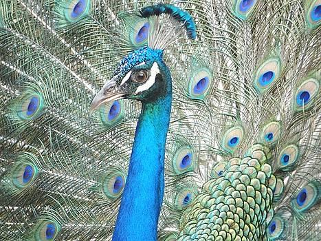 Peacock Glory by Carol Reynolds