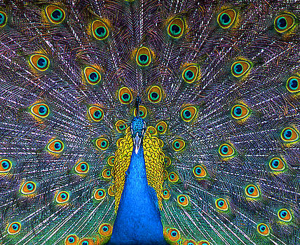 Peacock by Mary McGrath