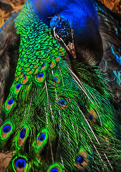 Peacock Perfection by Emily Stauring