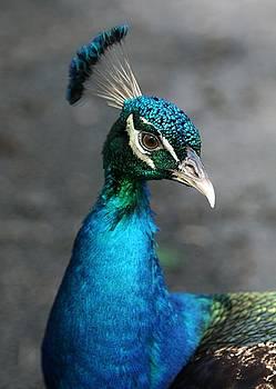 Sabrina L Ryan - Peacock Portrait