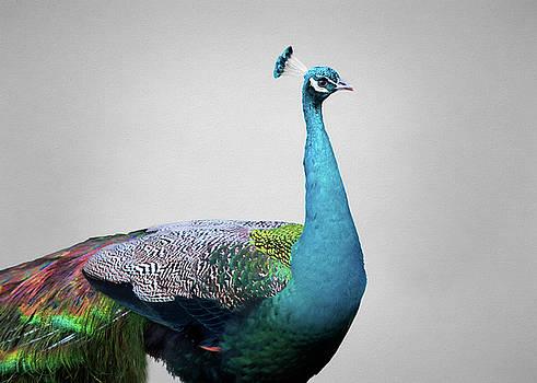 Peafowl by Steven Michael