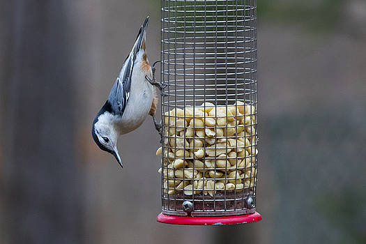 Peanuts For A Nuthatch by Ron Grafe