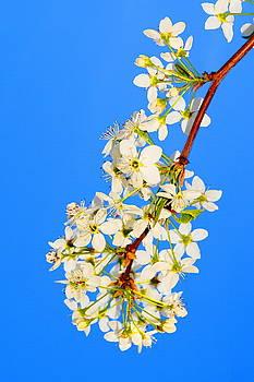 Pear Blossoms by Daniel Thompson
