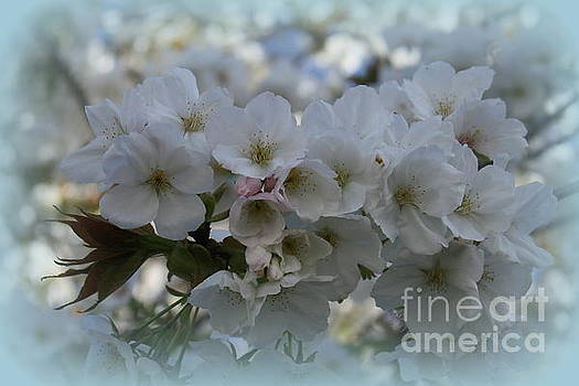 Pear Tree Blossoms by Dora Sofia Caputo Photographic Art and Design