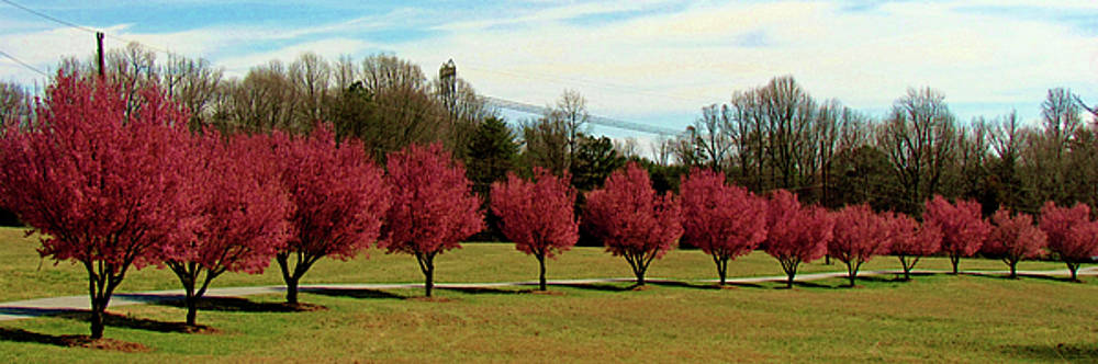 Pear Trees In A Row by Cynthia Guinn