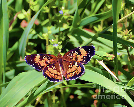 Pearl Crescent Butterfly by Kerri Farley