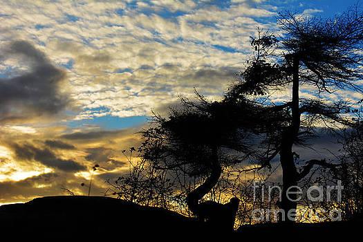 Pebbles Beach Pine Tree by Elaine Hunter