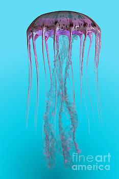 Corey Ford - Pelagia noctiluca Jellyfish