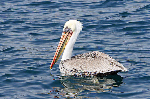 Pelican at Sea by Shoal Hollingsworth