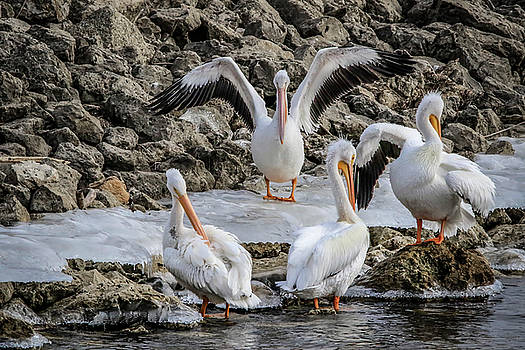 Pelican Conducting  by Ray Congrove