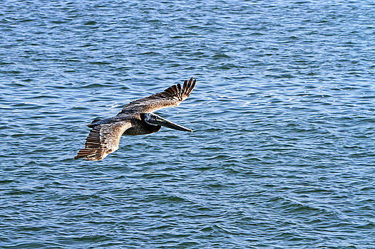 Pelican in Flight by Shoal Hollingsworth