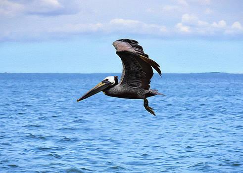 Pelican in Flight by Steven Michael