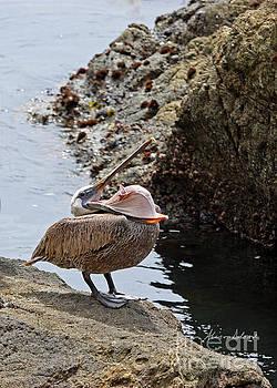 Pelican Mayhem 2/9 by Alison Salome