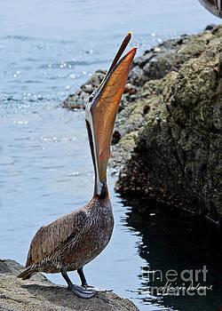 Pelican Mayhem 9/9 by Alison Salome