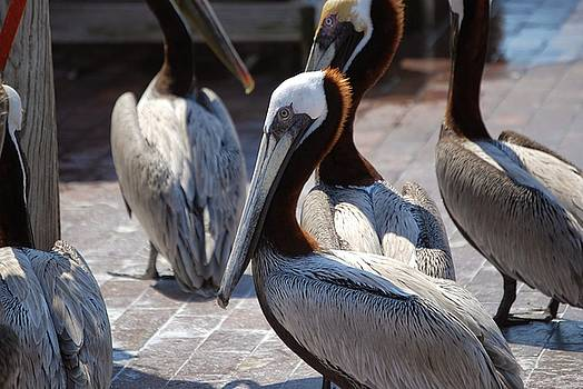Pelicans by Charles Bacon Jr