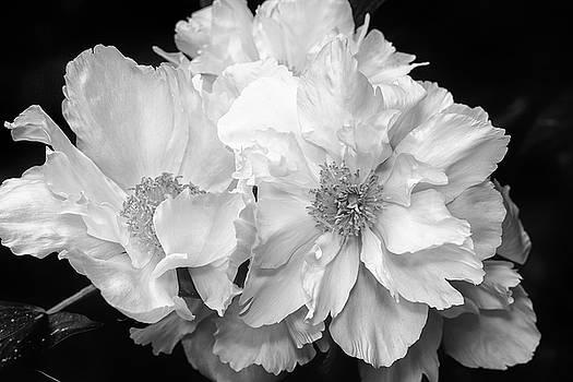 Peonies by Eunice Gibb
