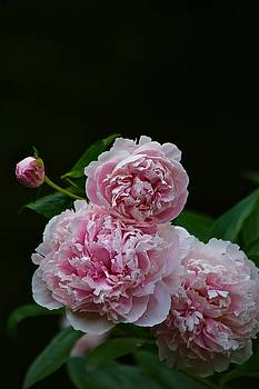 Peonies  by Gillis Cone