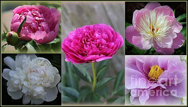 Peonies - Symbols of Romance and Prosperity by Dora Sofia Caputo Photographic Art and Design