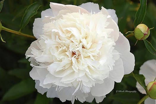 Peony in Creamy White by Jeannie Rhode Photography