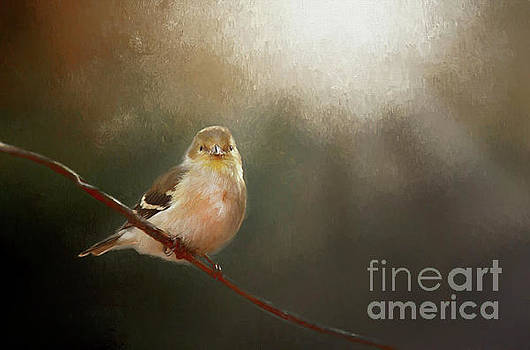 Perched Goldfinch by Darren Fisher