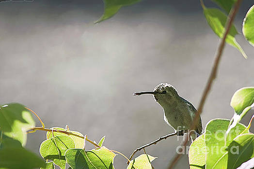 Perched Hummer by Anne Rodkin