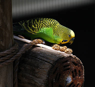 Marilyn Hunt - Perched Parakeet