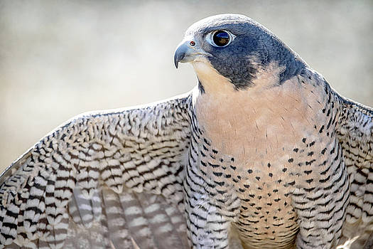 Peregrine  by Angie Rea