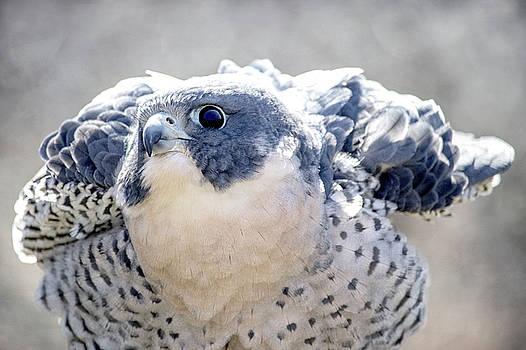 Peregrine Falcon by Angie Rea