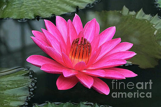 Byron Varvarigos - Perfect Pink Petals Of A Waterlily