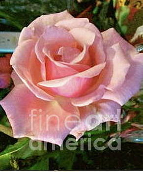 Perfect Pink Rose by Jenny Lee