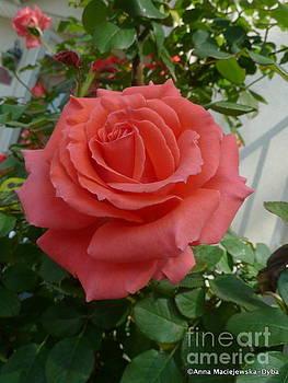 Perfect Rose America by Anna Folkartanna Maciejewska-Dyba