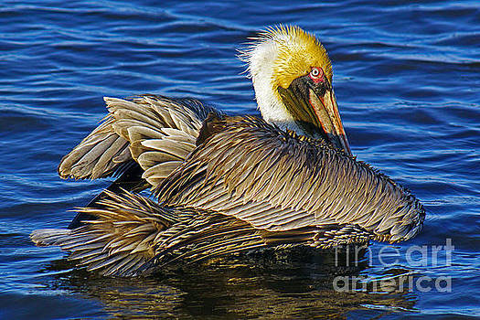Perky Pelican by Larry Nieland