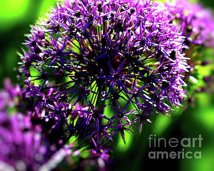 Purple Allium  Ornamental Onion by Baggieoldboy
