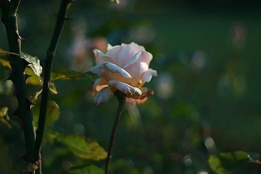 Terry Perham - petals and thorns bokeh