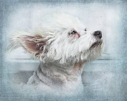 Petal's Moment, Cute White Chipoo Dog by Melissa Bittinger